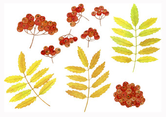 Rowan autumn leaves and fruits. Watercolor hand drawn painting illustration, isolated on white background