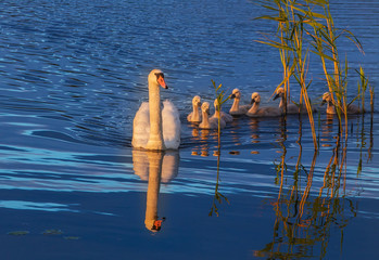white Swan - mother and cubs swans on the water