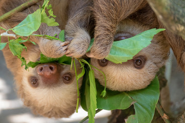 Two sloths hanging from tree in Costa Rica Fototapete