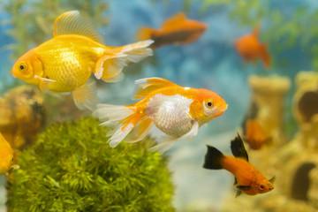 Multicolored fish in the aquarium. Goldfish in freshwater aquarium with green beautiful planted tropical. fish in freshwater aquarium with green beautiful planted tropical