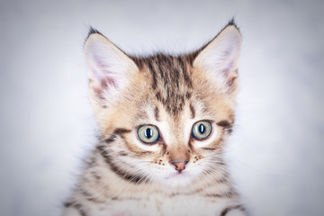 Portrait of a little tabby kitten, close up