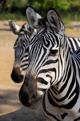 Portrait head details of African striped coat zebras