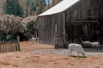 Sheep grazing by an old barn