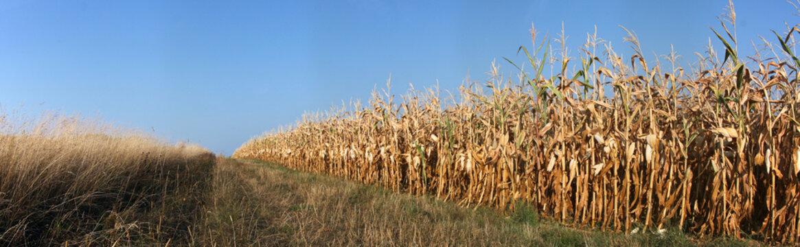 verdörrtes Maisfeld in der heißen Abendsonne