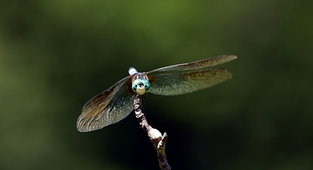 A Dragonfly on a tree twig wings open and looking straight