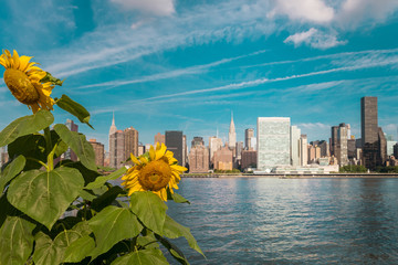 Manhattan view from Gantry park in the beautiful early morning.  Sunflowers in the foreground