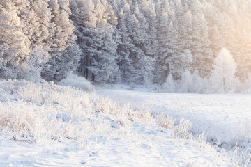 Snowy frosty winter forest in sunlight. Christmas background. Cold nature with hoarfrost on trees and plants. Snow on pines and christmas trees. Beautiful winter morning landscape