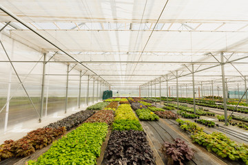 flowers cultivation in a green house. Production flowers. Plants crop in greenhouse.