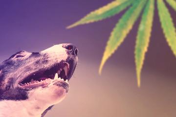 Dog Bull Terrier sniffing a leaf of marijuana