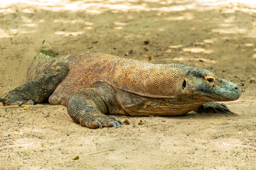 Komodo Dragon (Varanus komodoensis) on the sand.