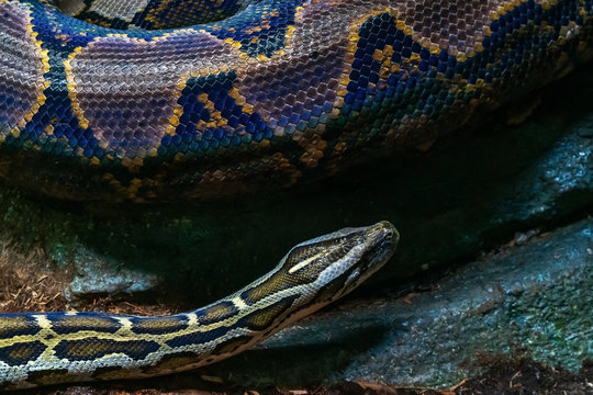 Blue and yellow snake, close-up