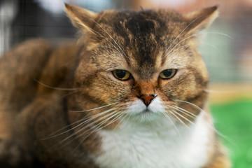Sad fat brown cat