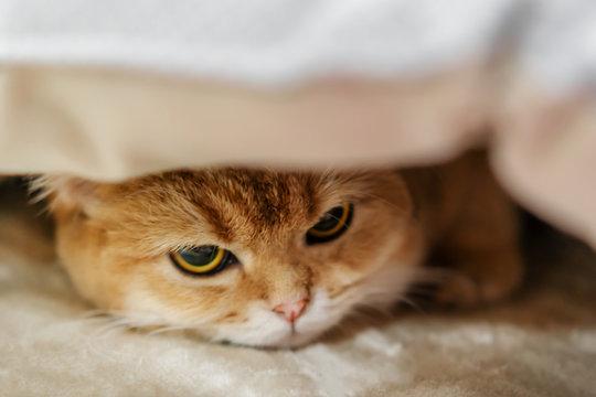 A sad orange cat under the blanket