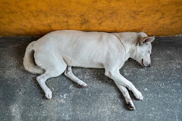 Large white stray dog sleeping near the wall