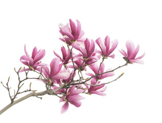 Garden Poster Magnolia Pink magnolia flowers isolated on white background