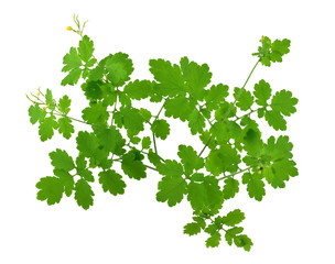 Chelidonium Majus Medicinal Plant. Also Greater Celandine, Nipplewort, Swallowwort or Tetterwort. Isolated on White Background.