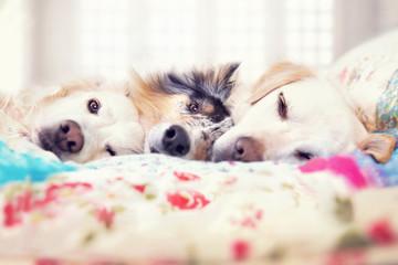 Drei Hunde liegen im Bett und schlafen gemeinsam