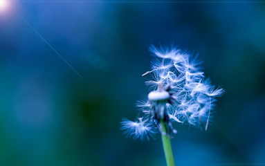 Art photo of dandelion close-up on blue background. Drops of morning dew on the dandelion seeds. Black and white photo. Monochrome photography.