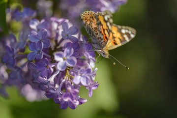 Butterfly eating nectar of lilac flowers in a field.