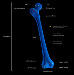 Infographic diagram of human femur bone or leg bone anatomy system anterior view- 3D- medical illustration- human anatomy- medical diagram- educational concept- x-ray blue tone color film