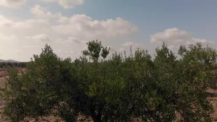 Fototapete - Albero di ulivo