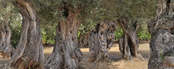 Photo sur Toile Oliviers Alte Olivenbäume, Insel Mallorca, Spanien, Europa, Panorama