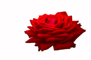 big red rose on white isolated background