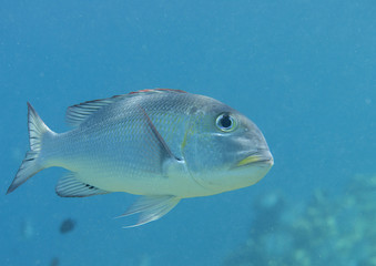 Humpnose big-eye bream (Monotaxis grandoculis)swimming in the water, Bali, Indonesia