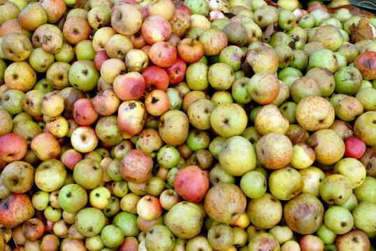 Pommes à cidre, toutes tailles, toutes couleurs, Normandie, France