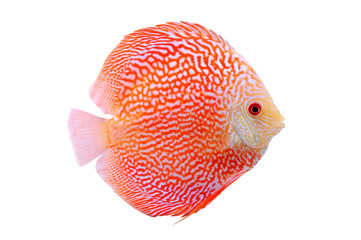 Spotted orange red discus fish isolated on white background. Beautiful freshwater aquarium fish