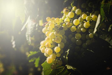 Bunches of grapes in the vine