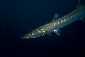 Portrait of a barracuda fish at the reef of Richelieu Rock in Thailand