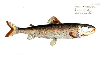 Illustration of fish