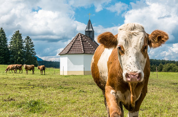 Wall Mural - cow at the alps