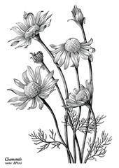 Chamomile flowers hand draw vintage clip art isolated on white background