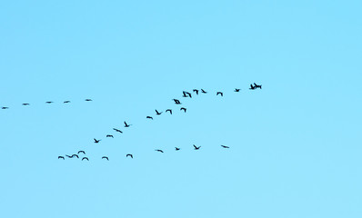 A flock of birds against the blue sky. Migratory birds flying in the sky.