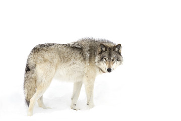 A lone Timber wolf or Grey Wolf (Canis lupus) isolated against a white background walking in the winter snow in Canada