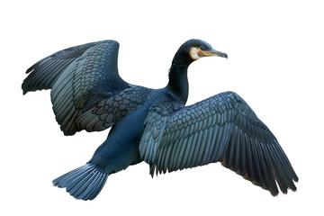flying dark cormorant isolated on white
