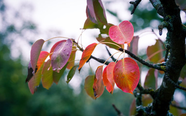 (early) autumn foliage of perry pear trees in Southern Germany