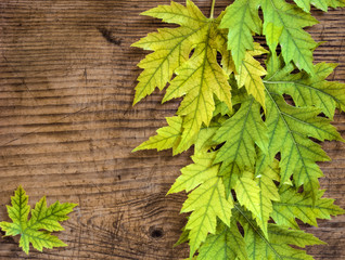 yellow and green maple leaves on a wooden board