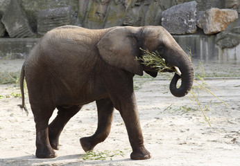 Female elephant Iqhwa eats vegetables from a birthday cake on occasion of its fifth birthday at Schoenbrunn zoo in Vienna