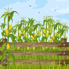 Corn field growing Vector. Maize background summer seasons