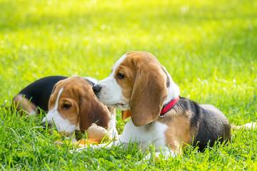 Dog beagle on the grass