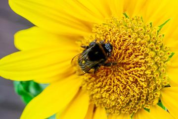 Riesige Hummel saugt an Sonnenblume