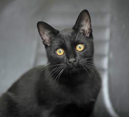 black kitten on a gray background