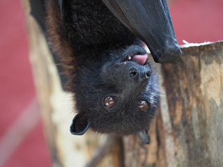 Close up of a flying fox.