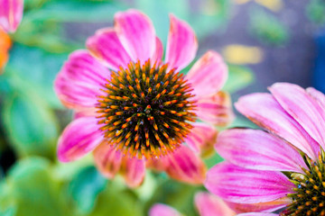 Rosa Cosmea - Garten Blume