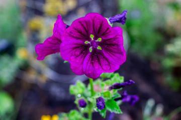 Lila Malve - Garten Blume