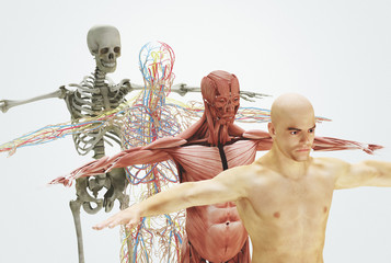 Human body from bones to skin, 3d render illustration