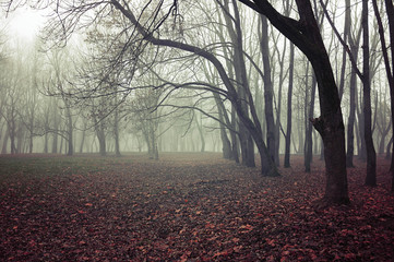 Fall mysterious landscape - foggy fall forest with bare fall trees and fallen red fall leaves